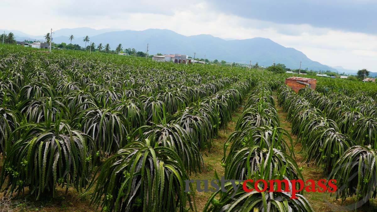 Dragon fruit plantation,  outside Phan Thiet