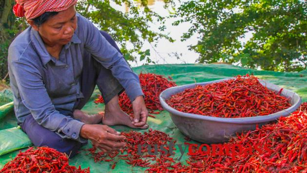 Sorting the chillies, Battambang