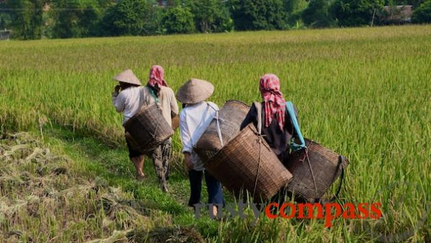 Out for the rice harvest, Mai Chau