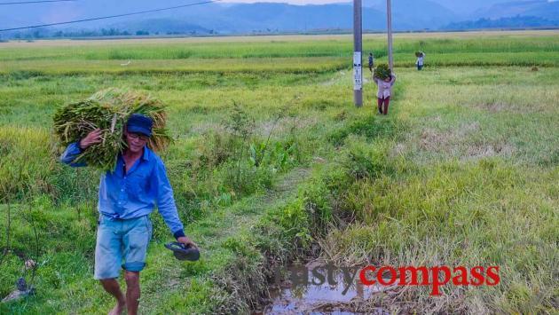 Harvest time - Phong Nha