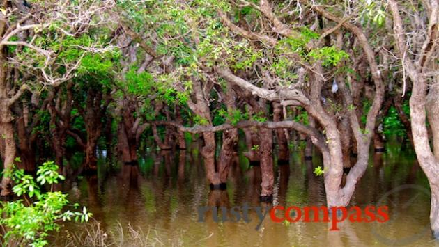 Floating forest on Ton Le Sap near Kompong Phluk